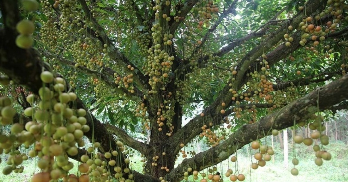 Cây cổ thụ nghìn quả từ gốc tới ngọn: Đại gia xin mua, cụ chủ lắc đầu;