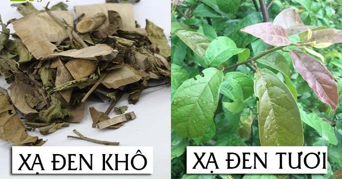 Cây xạ đen là loại thảo dược quý, được trồng chủ yếu ở vùng núi cao Hòa Bình; Cây xạ đen: dược liệu quý trong điều trị ung thư...