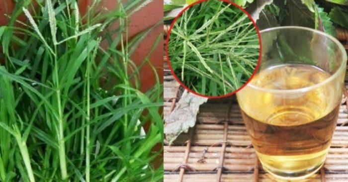 Cỏ mần trầu: thảo dược tự nhiên chữa được nhiều loại bệnh.