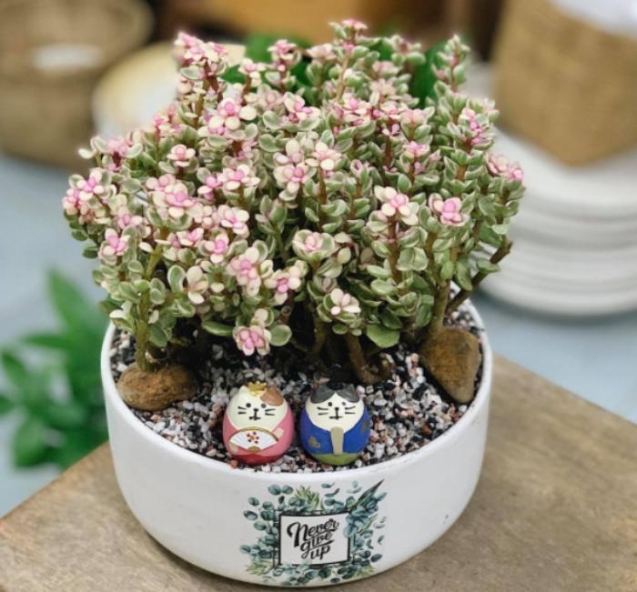 Cây sen đá đô la hồng sẽ nở những chùm hoa màu hồng tím xinh xắn, có kích thước nhỏ, hình ngôi sao trông gần giống hoa oải hương.