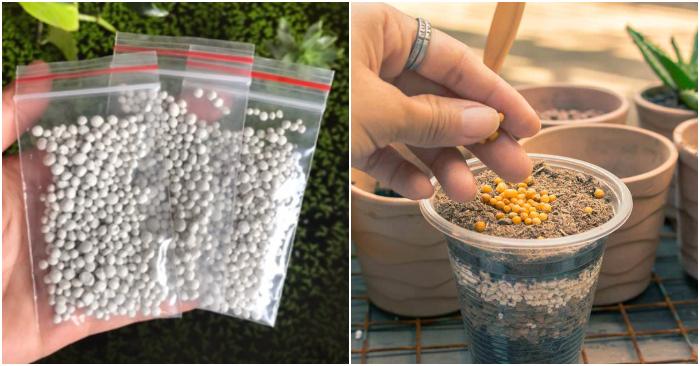 Hạt giống sen đá; shop ở TPHCM, Vườn ươm sen đá ở Hải Phòng, Điện Biên, Lào Cai, Tuy Hòa.