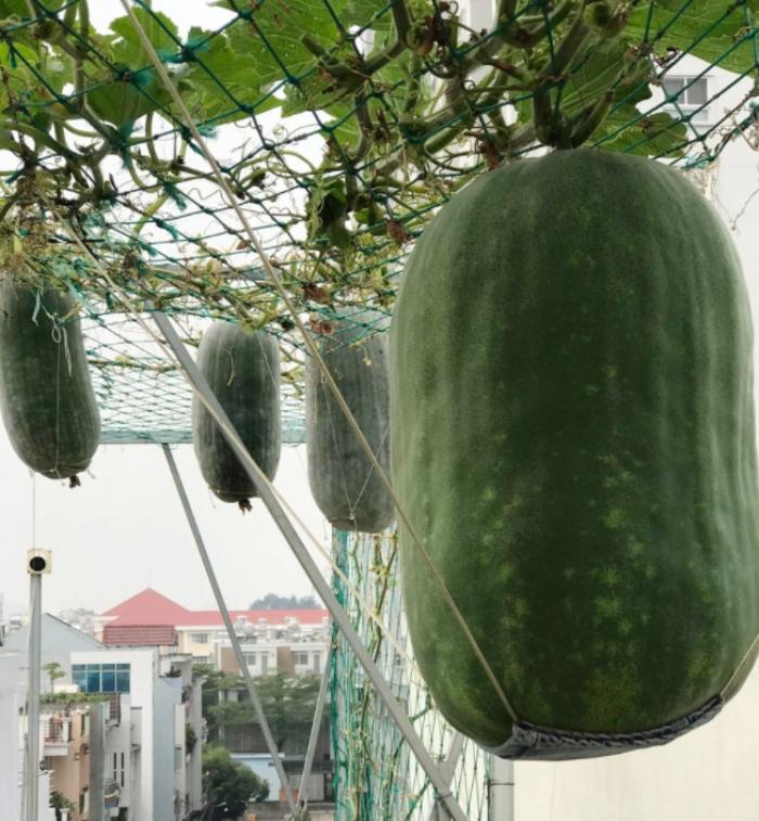Quả bí đao nặng hơn 34 kg 'khổng lồ' trên vườn sân thượng Sài Gòn