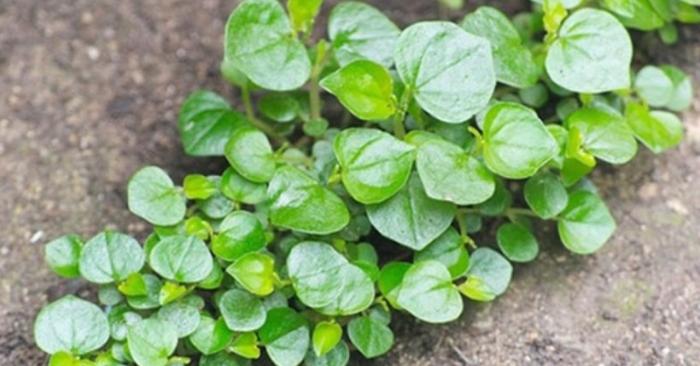 Rau càng cua kỵ gì; Cây rau càng cua ưa bóng hay ưa sáng; Giá rau càng cua; Bông rau càng cua ăn được không.