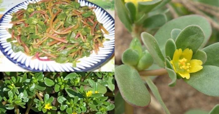 hình ảnh cây rau sam; ăn rau sam luộc có tốt không; cách chế biến rau sam; Rau sam: cây thuốc quý mọc hoang chữa nhiều bệnh.