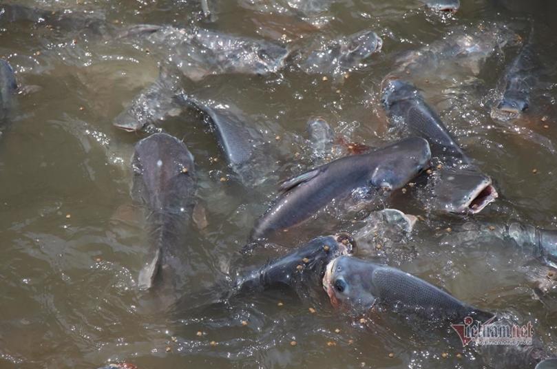 Chi trăm triệu nuôi đàn cá 'hoang' dưới sông của người đàn ông miền Tây