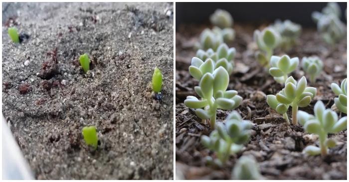 Tự làm chậu trồng sen đá; đơn giản nhất, dễ làm, hiệu quả cao, bằng đất thịt, bằng cát, xơ dừa.