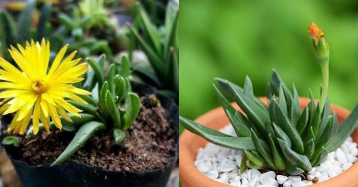 Các loại sen đá đẹp được nhiều người yêu thích; cách trồng và chăm sóc sen đá cỏ ngọc; mua sen đá cỏ ngọc ở đâu;