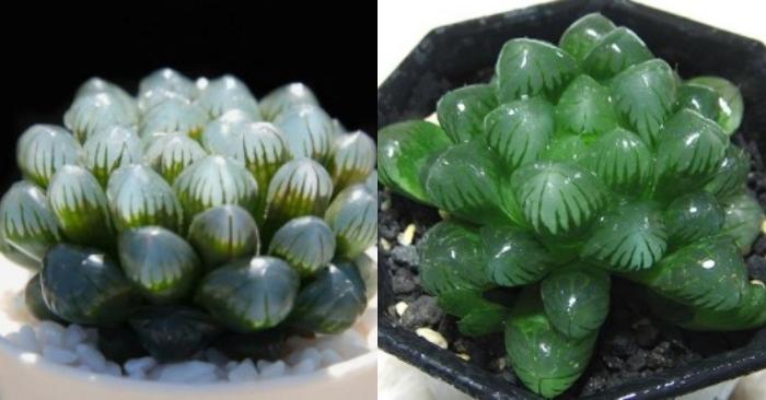 Cách chăm sóc sen đá kim cương - đặc điểm, ý nghĩa cách nhân giống: mô; hạt; lá; cây con; cành; gốc