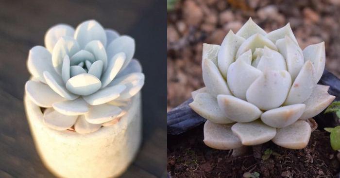 Các loại sen đá đẹp được nhiều người yêu thích; sen đá hoa hồng trắng nhân giống; cách chăm sóc sen đá hoa hồng trắng;