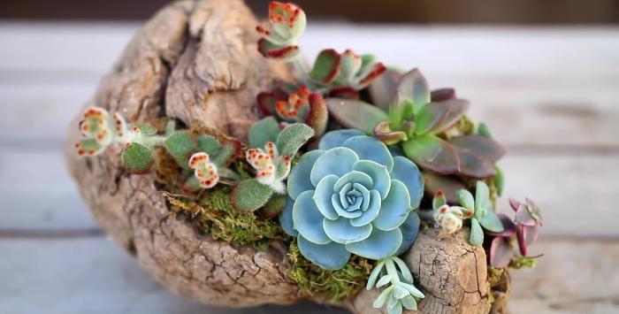 đất trồng, mạnh mẽ giống như, chậu sen đá, trồng, ý nghĩa, của cây, hoa sen, sức sống, tưới nước.
