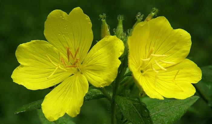 9 công dụng của tinh dầu hoa anh thảo đối với sức khoẻ và sắc đẹp; tác dụng của tinh dầu hoa anh thảo; cây anh thảo; viên uống tinh dầu hoa anh thảo.