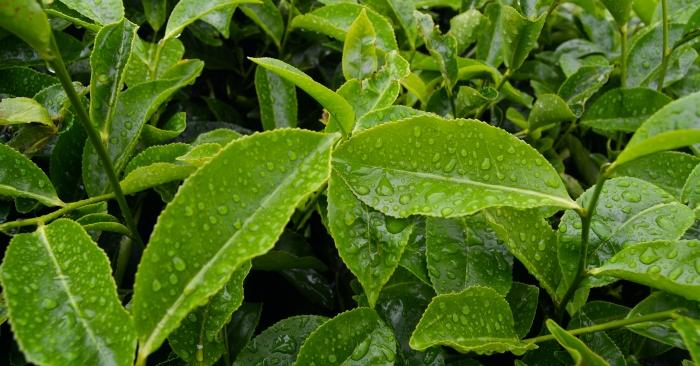 Trà xanh thông thường chứa 99,9% nước, và  chứa các chất phytochemical như polyphenol và caffeine.