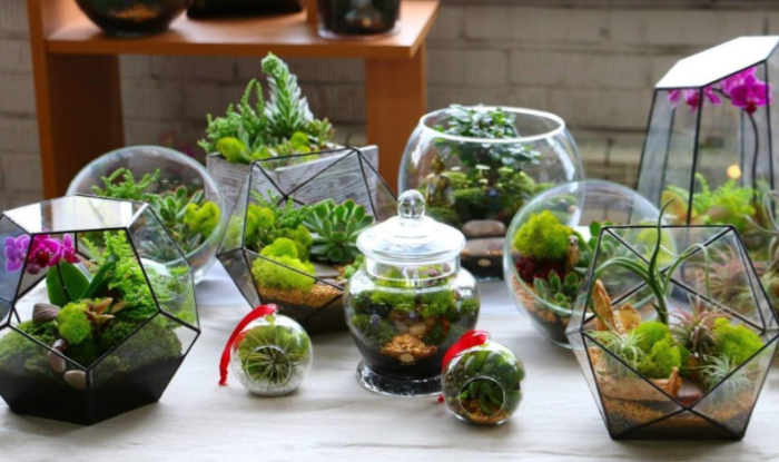 Cách trồng, kỹ thuật trồng, chăm sóc, tên khoa học, hợp với, đá, cây, chậu se, các loại tiểu cảnh.