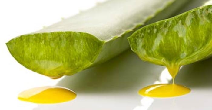Nhựa (mủ) nha đam có màu vàng mỏng ở giữa vỏ và gel của nha đam.  Khi ăn phải nhựa nha đam, sẽ gây tác dụng phụ nghiêm trọng; và có khả năng gây tử vong. ăn nha đam sống có tác dụng gì?;