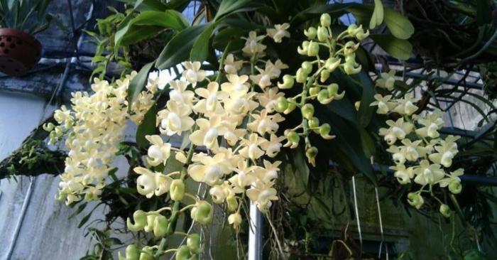 kim diep; vuon; quế lan hương; toc tien; tại hà nội; hoa lan hai phong; tai voi; cattleya; cắm