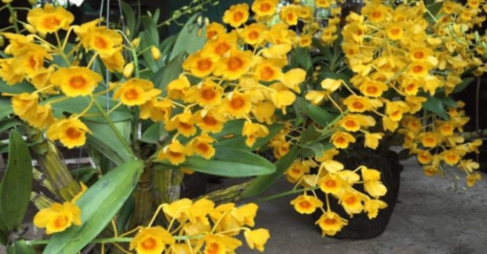 Các loại hoa lan có mùi thơm - Top 10+ loại có mùi thơm quyến rũ; cách trồng; sơn thủy tiên; xuất