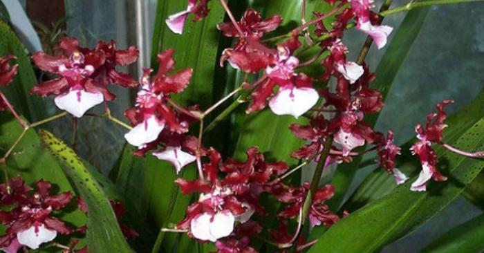 mô hình trồng; hai yen; cách cắm; để bàn; hoa lan duy phong; trầm rừng; vũ nữ; cách nhân giống