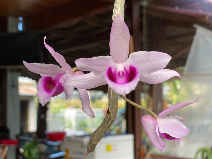 cách chăm sóc hoa lan ra hoa; cách; chăm sóc lan ra hoa; cách cho lan ra hoa; cham soc hoa phong lan;