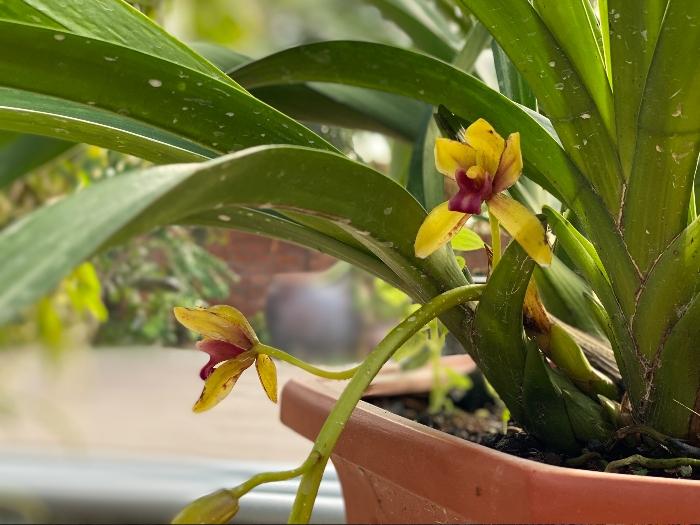 cách chăm sóc hoa phong lan tại nhà; chăm sóc hoa phong lan; cach cham soc hoa phong lan; cách chăm hoa phong lan