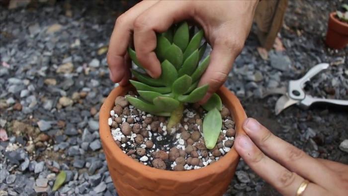 Cách cứu cây hoa đá bị héo; tím trị rệp cho sen đá; Các bệnh thường gặp ở, cách điều trị; bị nấm lá;