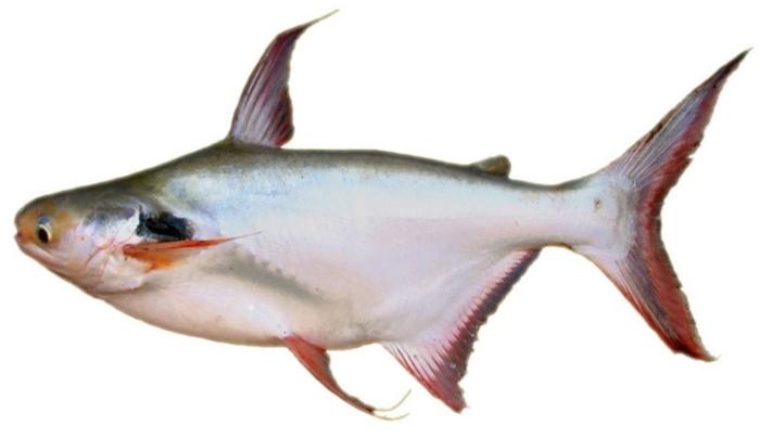 cá bông lau chua cay; Canh măng chua nấu cá bông lau; Canh măng chua cá bông lau; Lẩu cá bông lau măng chua;