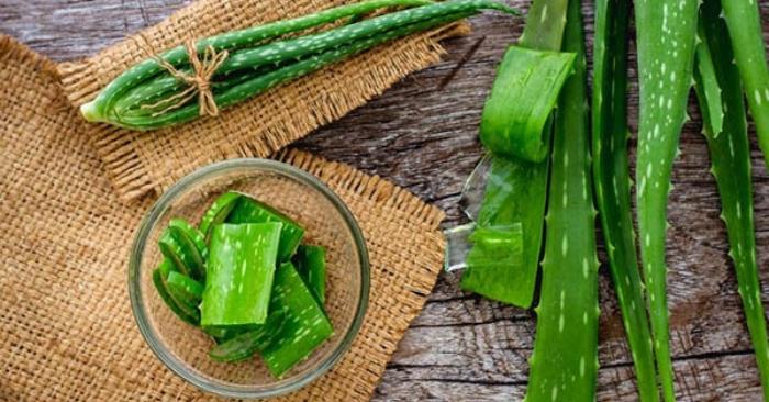 cây nha đam chữa bênh gì; dạ dày; zona, gan; Lá nha đam có màu xanh lục, mép lá có răng cưa dài từ 30 – 60cm