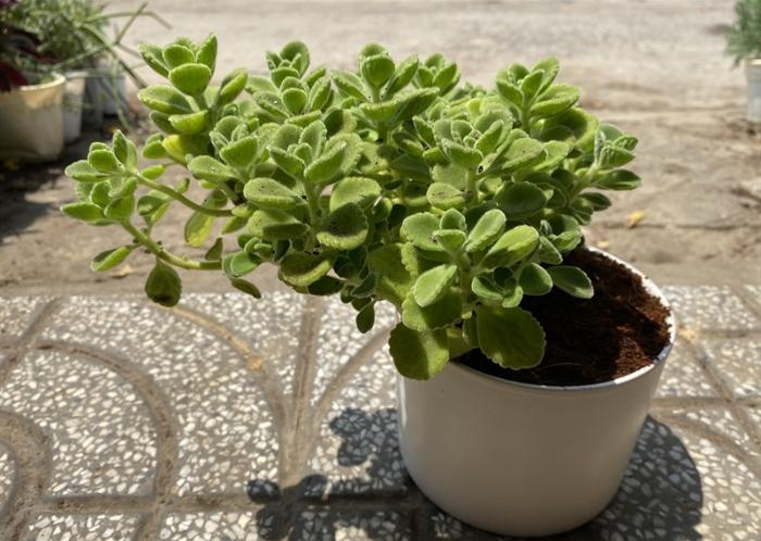 Nhất Mạt Hương; loại sen đá có mùi thơm; cách trồng để cây có thể ra hoa, nở, nhiều màu đẹp nhất.
