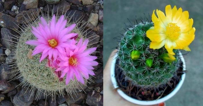 Chậu xương rồng nhỏ giá bao nhiêu - Cách chăm sóc để cây ra hoa; Chậu nhỏ để bàn; Giá cây mini; cảnh.