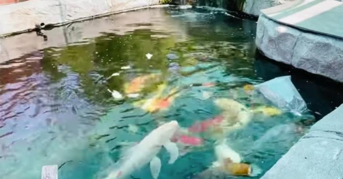 Hồ cá Koi tiền tỷ của Bằng Kiều; Clip: Đức Tiến tham quan hồ cá Koi tiền tỷ của Bằng Kiều.
