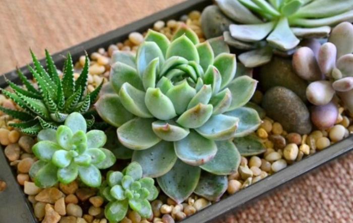 Có khả năng, giống sen đá, hạt, như những, cây mọng nước, phát triển, tình trạng, hình ảnh.