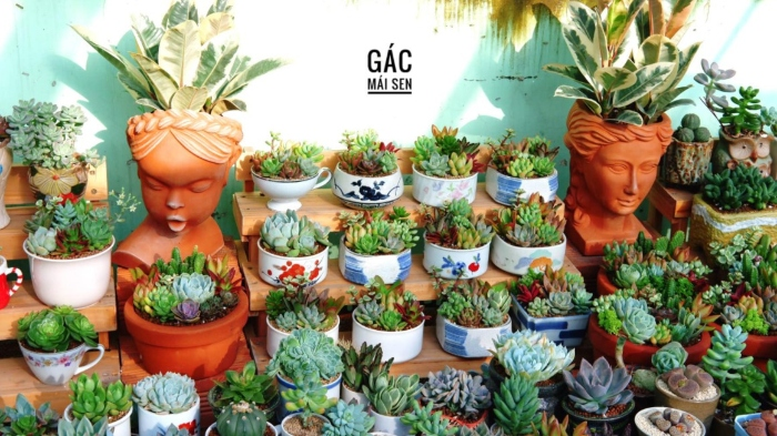 Top địa chỉ bán sen đá đẹp tại Sài Gòn; kỹ thuật, mua ở đâu, giá bao nhiêu, kinh nghiệm trồng.