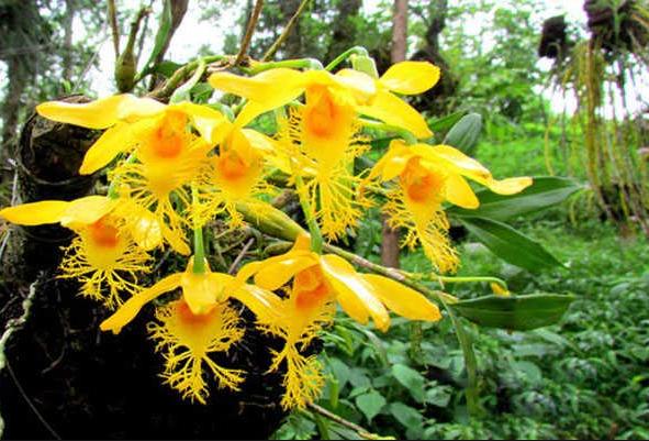 Lan hoàng thảo tua; Các loại hoa lan phổ biến ở Việt Nam; Giá các loại lan rừng; Giá các loại hoa lan.