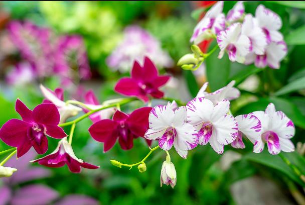 Lan Dendro; Các loại hoa lan phổ biến ở Việt Nam; Vườn lan dendro Hồ Chí Minh; Dendro nắng có bảo nhiều loại.