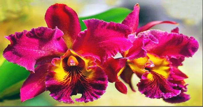 Các loại hoa lan phổ biến ở Việt Nam; Lan Cattleya; Tên và hình ảnh các loại lan rừng; Các loại hoa lan ra hoa quanh năm.