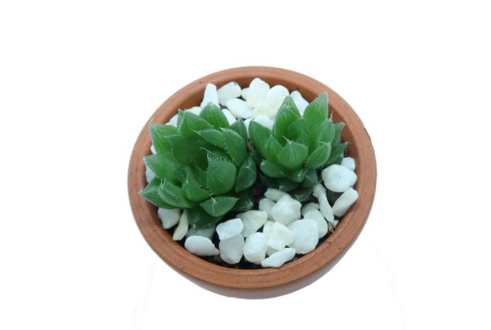 sen da quang xanh; trang; sedum dạ quang; cây sen đá Sedum dạ quang cách chăm sóc và nhân giống.