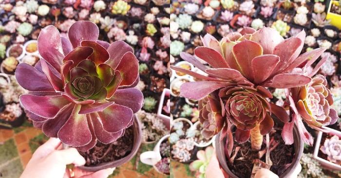 Sen đá aeonium tím giống mới xinh đẹp và độc lạ; Mua sen đá; Chậu đẹp, mua cây tại TPHCM, Đà Lạt.