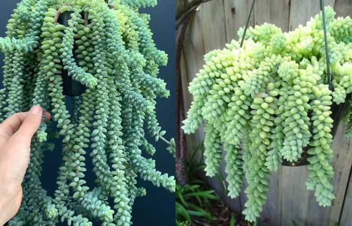 Bình; cách chăm cây; hoa xương rồng đá; sống được bao lâu; ưa nắng hay mát; chăm sóc; có hoa không