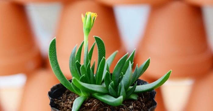 Sen đá cỏ ngọc; giống tím; đỏ, sần; đẹp; có ý nghĩa gì; hợp tuổi nào; mệnh gì; vườn sỉ lẻ giá rẻ.