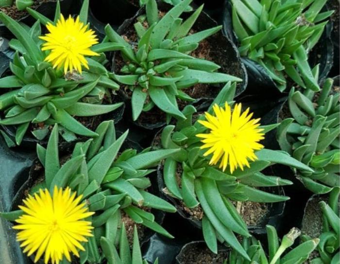 Hoa đá cỏ ngọc, đặc điểm, mang ý nghĩa cách nhân giống hiệu quả, đẹp nhất. sỉ lẻ giá rẻ Hà Nội.