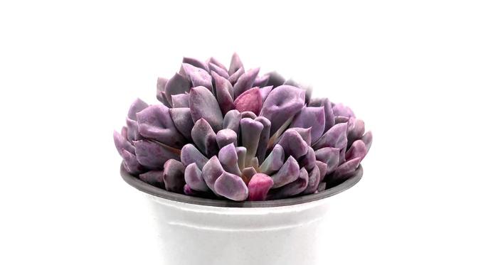 Sen đá cúc tím - Đặc điểm, ý nghĩa và cách chăm sóc cho cây khỏe mạnh, mua sỉ lẻ Hà Nội, đẹp nhất.
