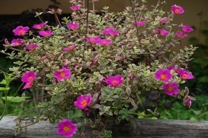 Trồng hoa mười giờ thái; Hoa mười giờ Thái đơn; Hình ảnh hoa mười giờ Thái; Hoa mười giờ nở cả ngày.