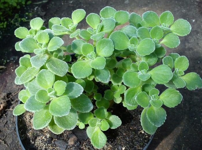 Sen đá cỏ ngọc đẹp, nhiều màu sắc, cách nhân giống, cây nở hoa, mua tại TPHCM, Hà Nội Đà Lạt, vườn.
