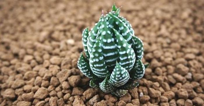 Haworthia reinwardtii Zebra wart là tên tiếng anh của móng Rồng cúp. Cây sen đá, tên của 29 loại phổ biến.