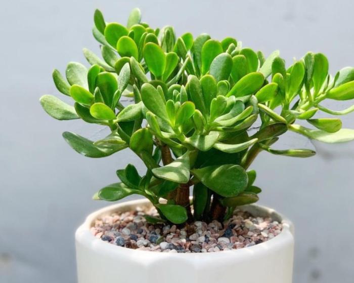 Ưa mát. Nhiệt độ từ 15-35 độ; cần ánh sáng để phát triển; đặt chậu hoa ở nơi có ánh sáng trực tiếp.