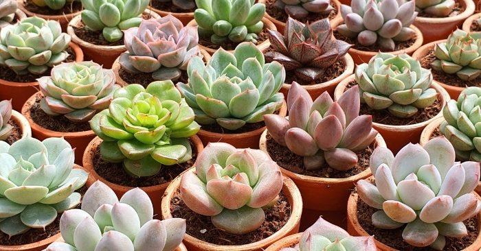 Các loại; (tên khoa học: Succulent) chi Echeveria, họ thuốc bỏng (Crassulaceae) 60 họ gần 400 loài một chậu; Cây thuộc họ hoa cúc;