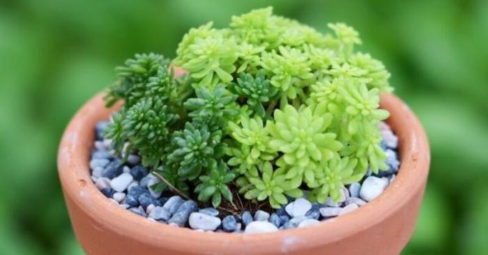 Hoa đá sedum ý nghĩa; có tác dụng gì; đẹp, các loại tên, vàng, xanh, cơm, giá bán tại TPHCM, Hà Nội.
