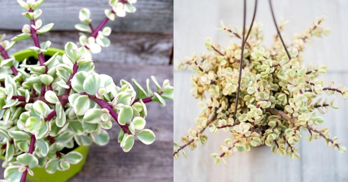 Sen đá Đô la trắng - Portulacaria afra f. variegata.