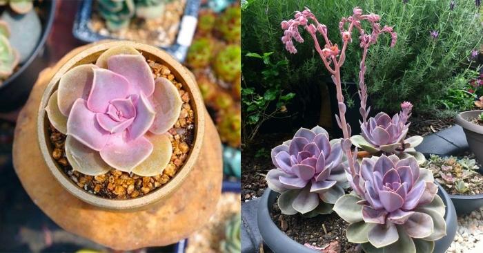 Sen đá Hồng dâu - hồng phấn có tên tiếng anh là Echeveria .Perle von Nurnberg; Các loại sen đá giống mới.