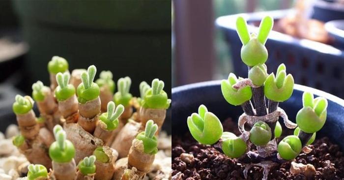 Sen đá tai Thỏ - Bunny rabbit Succulents; Cây sen đá tiếng Anh là gì - tên của 29 loại phổ biến.