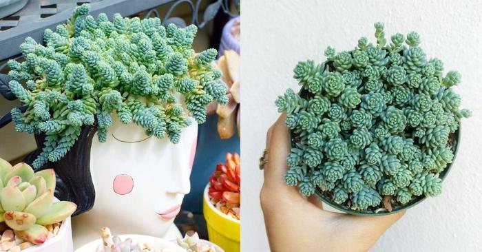 Sedum dasyphyllum major - Sedum hoa Hồng
